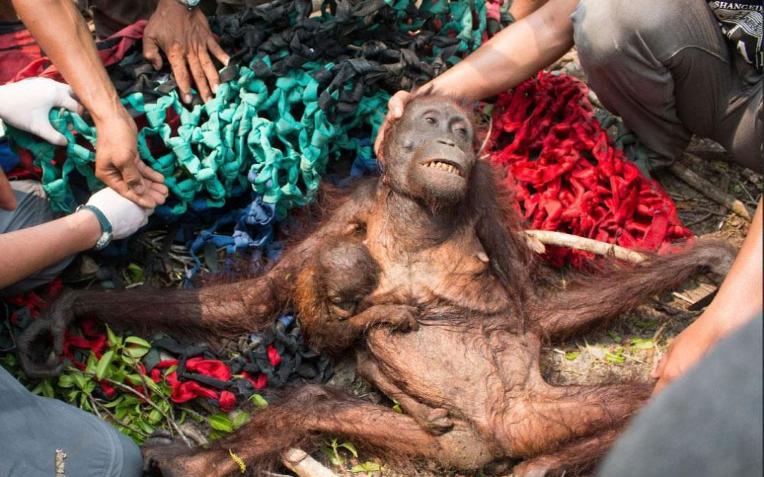 Orangutans can be extinct within 10 years
