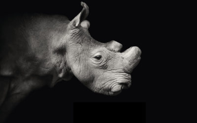 the last northern white rhino male on death watch