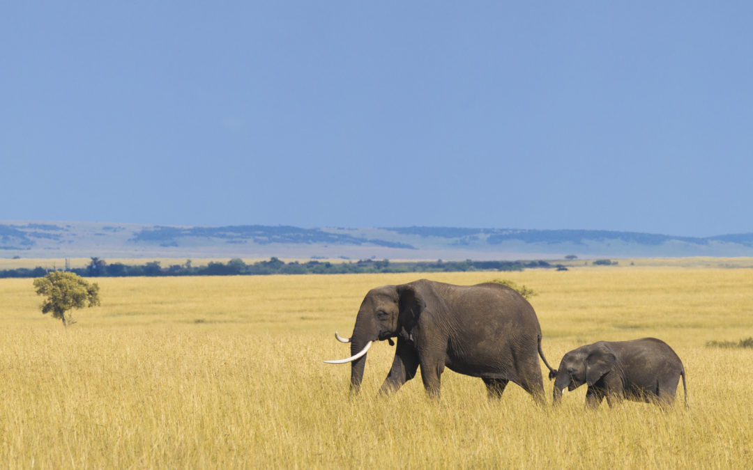Poaching is the biggest threat to elephants